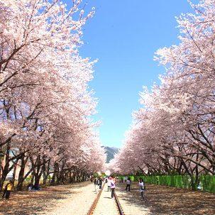 [서울出] 하동벚꽃+진해군항제 1박