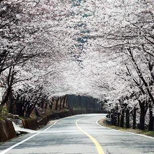 [서울出] KTX+쌍계사벚꽃+서도역